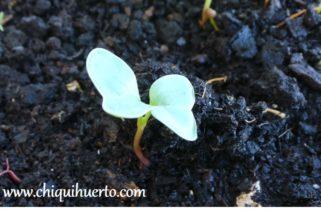 Rábano de la semilla a la cosecha