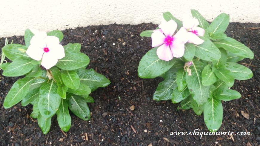 De flor de jard n a tratamiento contra el c ncer la for Planta ornamental que se reproduzca por esquejes